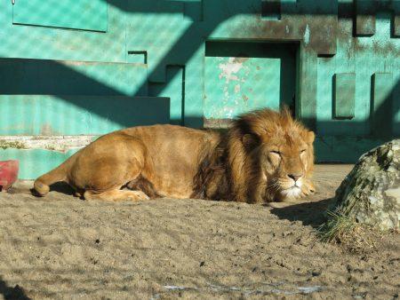ドライフ 釧路市動物園 ライオン ゆうひ