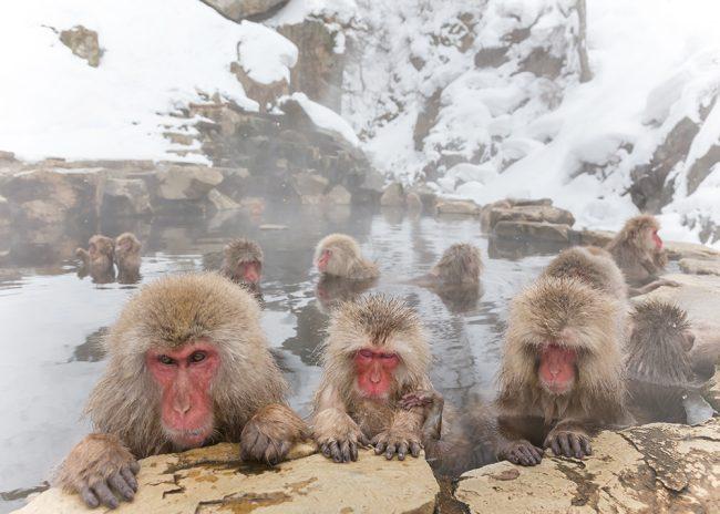 みんなで温泉 おさるさん。snow monkey of the outdoo